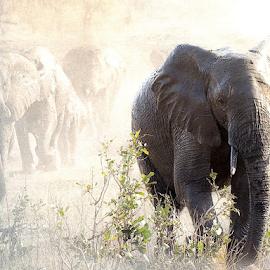 Homeward Bound by Bjørn Borge-Lunde - Digital Art Animals ( wild animal, elephants, wilderness, animals, nature, sunset, magic kingdom, wildlife, africa )