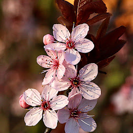 Pink Blossom by Chrissie Barrow - Flowers Tree Blossoms ( flowers, pink, blossom, stamens, tree, bokeh, petals )