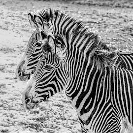 zebra by Fred Faulkner - Black & White Animals ( b/w, nature, zoo, zoo animal, chicago, zebra, lincoln park zoo, stripes )