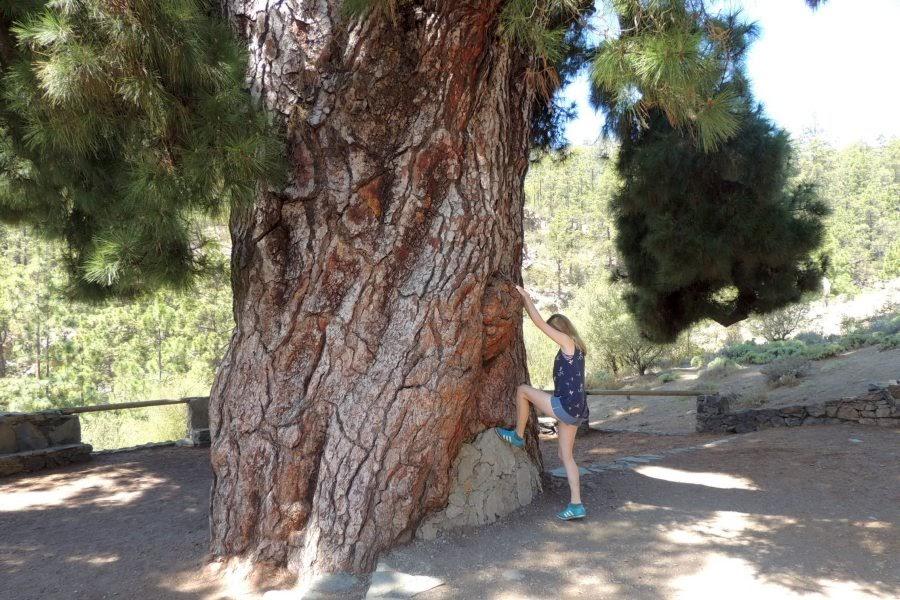 Pinus_Klettern