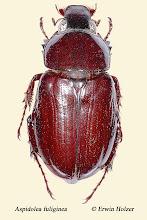 Photo: Aspidolea fuliginea, 28 mm, Costa Rica, Esquinas Rainforest (08°42´/-83°12´), leg. Erwin Holzer, det. Angel Solis