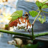 Virginia Creeper Sphinx Moth (parasitized)