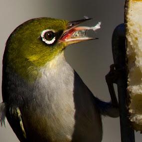 Tasty by Trevor Bond - Animals Birds ( bird, nz, white-eye, waxeye,  )