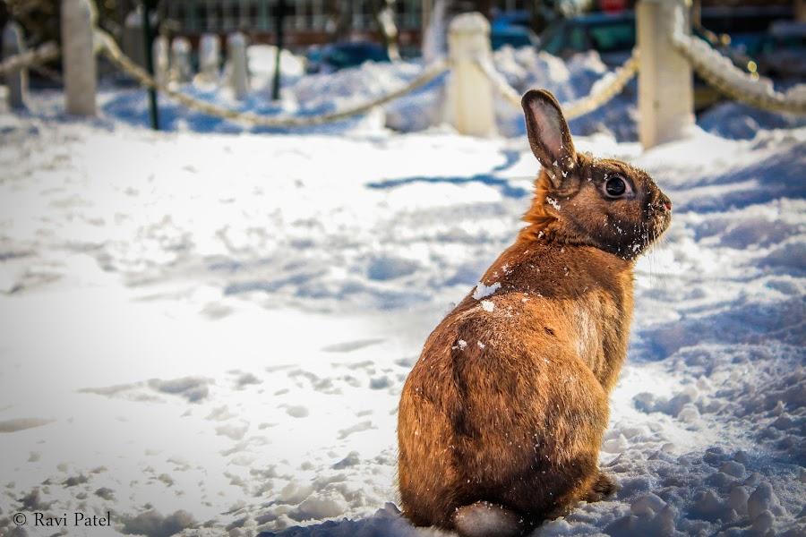 Euclid  by Ravi Patel - Animals Other Mammals ( rabbit, winter, bunny, cold, snow )