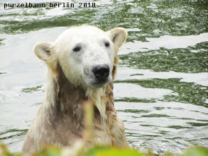 Photo: Eisbaerschoenheit Knut :-)