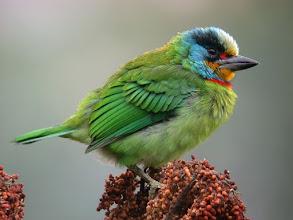 Photo: 五色鳥