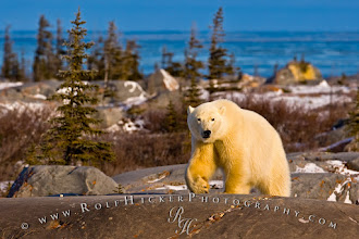 Photo: Good morning world. My friends which know me for a while know that I love to show animals in their natural environment. My photo for today shows a fairly large polar bear walking along the big boulders along Hudson Bay in northern Manitoba before sunset. It was a real challenge to do the right white balance as the bears fur is reflecting the soft yellow sunlight BUT that is what their fur does and it looked yellow. I used the snow as a reference for WB. I hope you like the pic as much as I do. #polarbears #animals