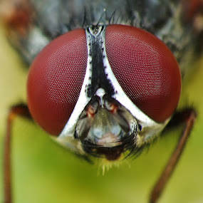 Eyes of a Fly by Amanda Blom - Animals Insects & Spiders ( pure, macro, raynox, sharp, nature, fly, fuji, insect, flies, close-up, eyes,  )