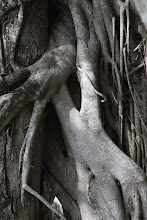 Photo: Ficus portrait