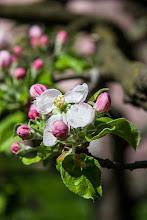 Photo: Zakwitły jabłonie. Widok ten ucieszył mnie bardzo po kilku miesiącach chłodu i szarugi.