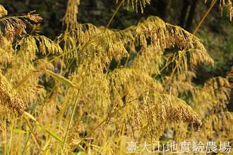 Photo: 拍攝地點: 春陽-民俗植物園 拍攝植物: 臺灣油芒 拍攝日期:2012_10_29_FY