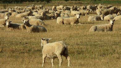 Photo: We saw many sheep on our way to Medford Sound.  There are about 30 million in New Zealand.