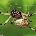 Large-jawed Spider