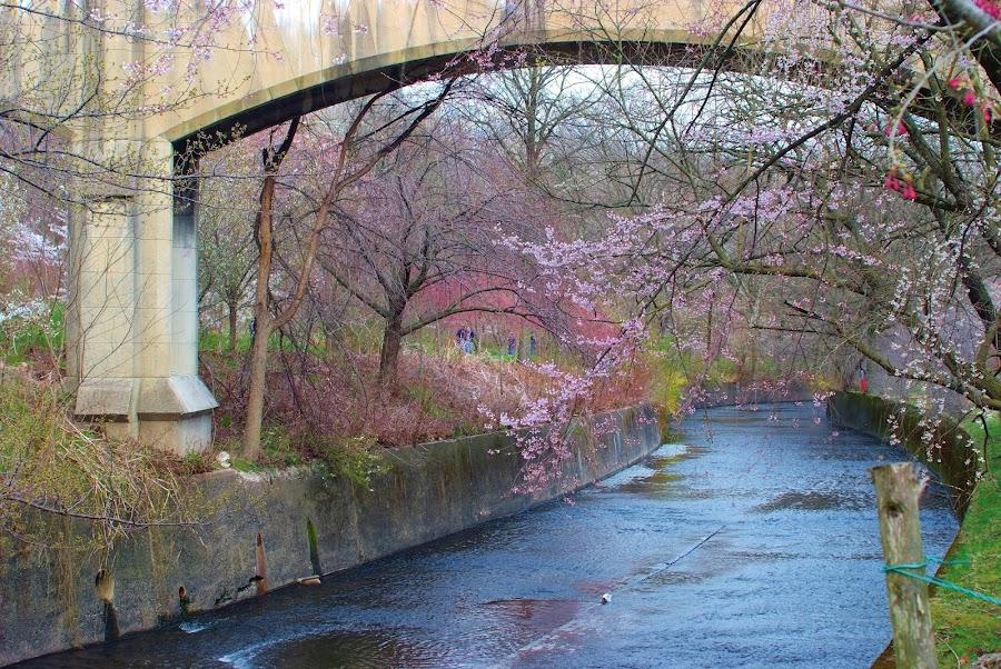 Cherry Blossoms by Fara Laura Faz - City,  Street & Park  Historic Districts ( branch brooke park )