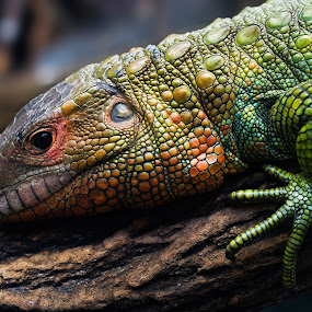 Teju by Jürgen Mayer - Animals Reptiles ( nature, colorful, teju, reptile )