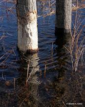 Photo: Fresh beaver chew