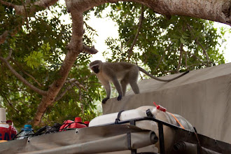 Photo: Sodwana Bay - Cheeky Vervet monkey / Sodwana Bay - Drzý kočkodani