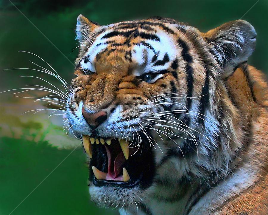 Back Off! by John Larson - Animals Lions, Tigers & Big Cats ( siberian tiger, endangered species, tiger, amur tiger, largest felid, carnorvore )