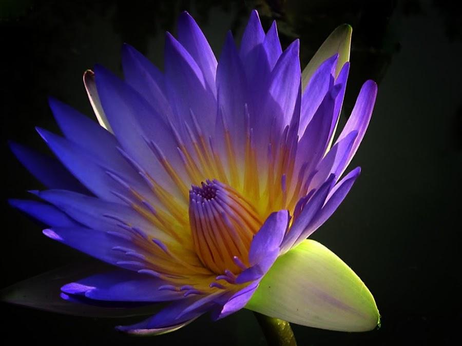 Lotus by Re Rahnavarda - Nature Up Close Flowers - 2011-2013