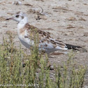 Black-headed Gull; Gaviota Reidora