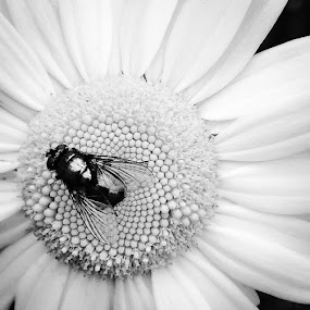 Beedaisied by Jillynn Markle - Uncategorized All Uncategorized ( macro, nature, black and white, insect, flower )