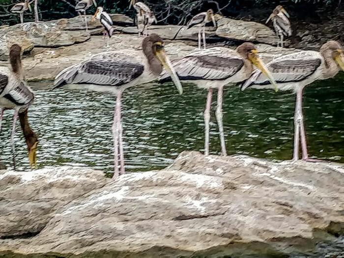 ranganathittu bird sanctuary