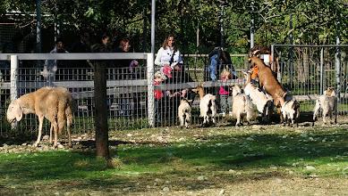 Photo: Pecore e caprette in Fattoria