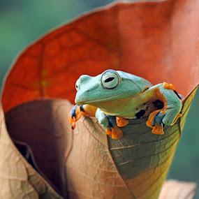 Flying Frog by Andri Priyadi - Animals Amphibians ( animals, frog, amphibian, nikkor, amphibians, reinwardts flying frog, macro, nikond90, indonesia, flyingfrog, frogs, nikon, animal, reinwardts flying frog (rhacophorus reinwardtii) )