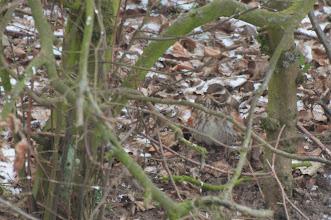 Photo: Redwing (Rotdrossel); Iserbrook, DE
