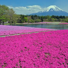 Shibazakura  by Paul Atkinson - Landscapes Prairies, Meadows & Fields ( japan, flowering, mount, prefecture, yamanashi, moss, fuji, phlox, shibazakura )