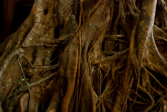 Photo: Gnarled roots of a wild fig tree, growing in a rainforest gully just outside of Byron Bay