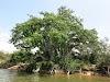 "Sri. Lanka Wilpattu National Park . ""Ali Gaha,"" or the Elephant Tree"