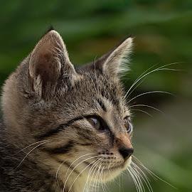 ... by Hale Yeşiloğlu - Animals - Cats Portraits ( cat, animal, portrait, cute, kitty,  )