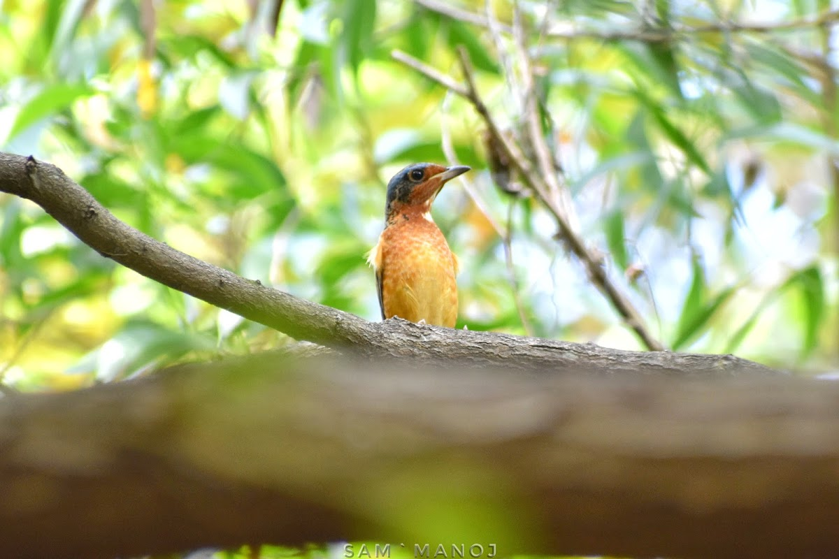 White-throated Rock Thrush (male)