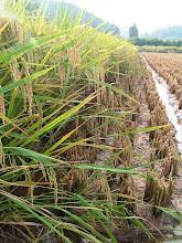 Photo: A high yield field, 750 kg per mu.