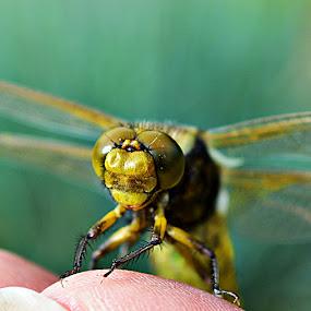Vretenac by Jelena Puškarić - Animals Insects & Spiders (  )