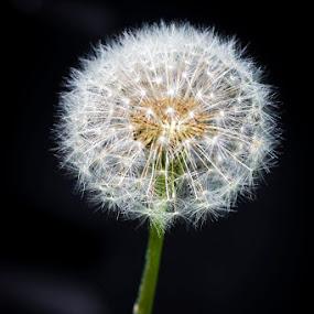 Dandelion Seed Head by Mel Stratton - Flowers Flowers in the Wild ( plant, dandelion seed head, nature, dandelion, seed, seeds, head, flower,  )