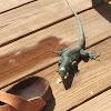 Whiptail blue lizard