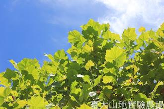 Photo: 拍攝地點: 梅峰-白楊步道 拍攝植物: 楓葉懸鈴木(英國梧桐) 拍攝日期:2012_07_21_FY