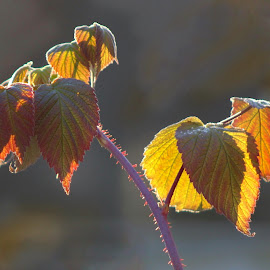 Raspberry Bush Leaves by Patricia Phillips - Nature Up Close Leaves & Grasses ( raspberry bushes autumn colors  leaves )