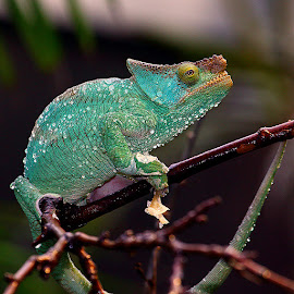 Lente ascension by Gérard CHATENET - Animals Reptiles