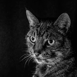 Shade by Barry Smith - Animals - Cats Portraits ( pets, cats, portraits, monochrome, animals,  )