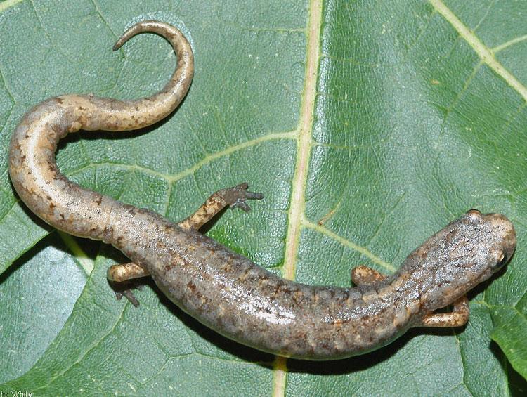 salamander_4toed.jpg
