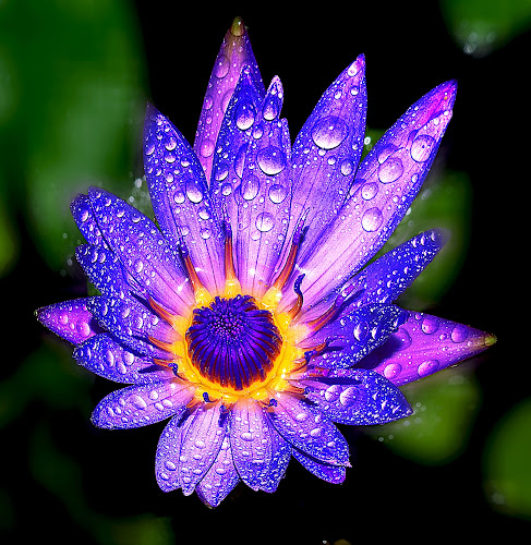 by Hafiz Ursa - Nature Up Close Gardens & Produce ( wild flower, water, water drops, purple, single lotus, purple lotus, beautiful lotus flower, yellow, 50.0mm, lotus, red, nikon d3100, single flower, beautiful wallpaper, nikon, blue lotus )