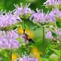 Hummingbird Clearwing
