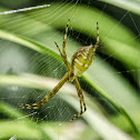 Garden Spider / Aranha-de-Jardim