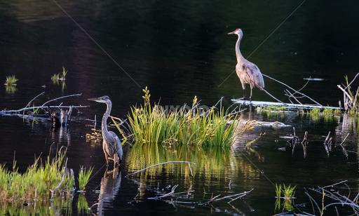 It Was Twilight And Sandhill Cranes >> Twilight Sandhill Crane And Great Blue Heron Birds Animals Pixoto