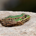 Rana común (Iberian waterfrog)