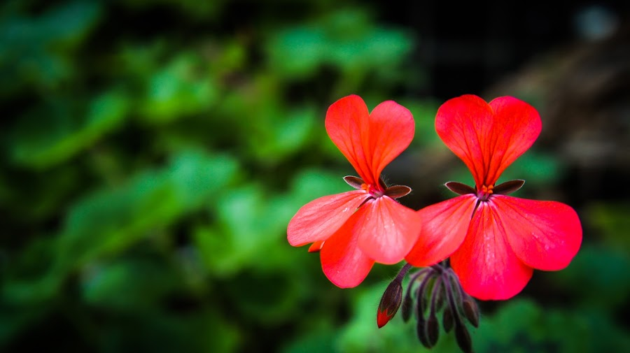 Red Flowers  by Ravi Patel - Nature Up Close Flowers - 2011-2013