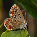 Mariposa (Common blue)